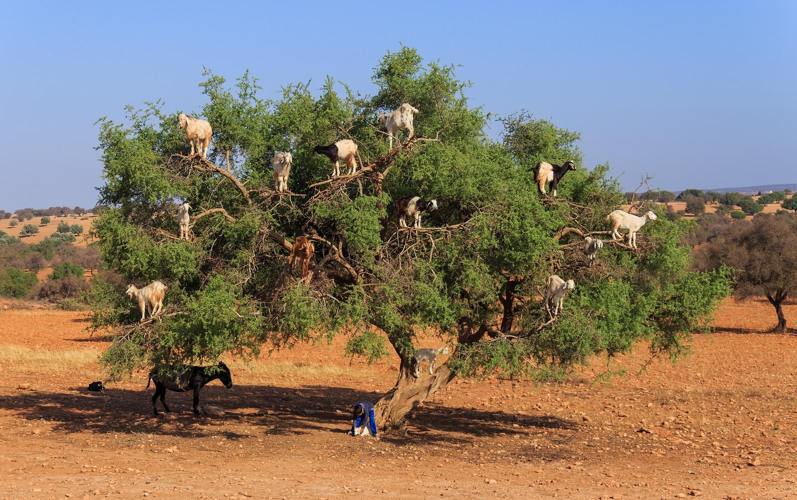 Dê ăn quả cây argan ở Ma-rốc